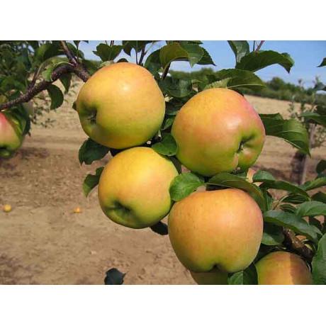 Biogolden jablon zimna  kontajnerovaná C5