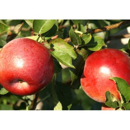 James Grieve super compact jabloň stĺpová kontajner C3
