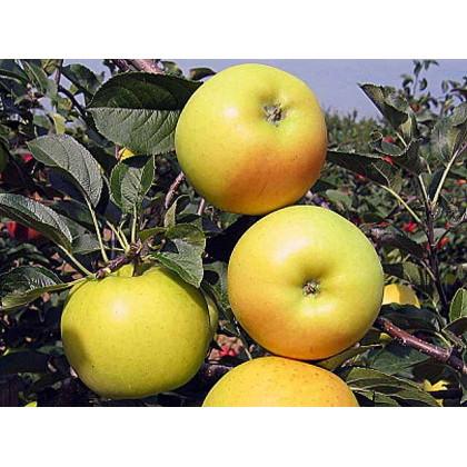 Bohemia Gold jabloň zimná podpník MM111 prostokorenná