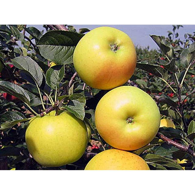 Bohemia Gold jabloň zimná podpník M9 prostokorenná
