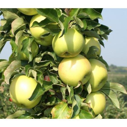 Goldcats jabloň stĺpovitá jesenná rezistentná C7,5L/100-150cm