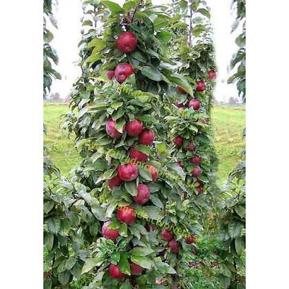 Moskovskoje ozerelje stĺpovitá jabloň jesenná podpník M26 prostokorenná