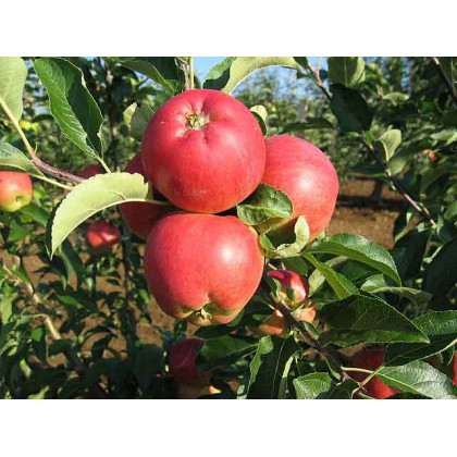 Nela  jabloň letná rezistentná podpník mm111 prostokorenná