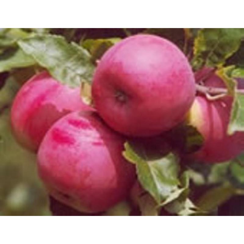 Ametyst jabloň letná podpník M26 prostokorenná