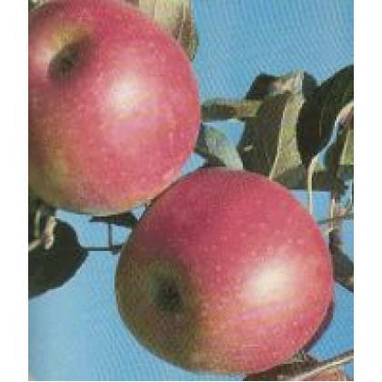 Angold jabloň zimná odolná