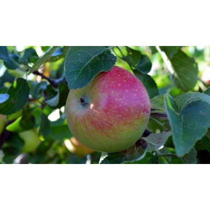 Pomredrobust  Galahad stĺpovitá jabloň červena konatjnerovaná C7,5