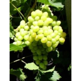 Arkadia vinič stolový biely skorý