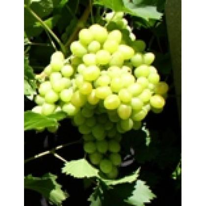 Arkadia vinič stolový biely skorý kontajner P1,5