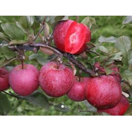 Baya Marisa jabloň červená dužina C10L/150-180cm 3..