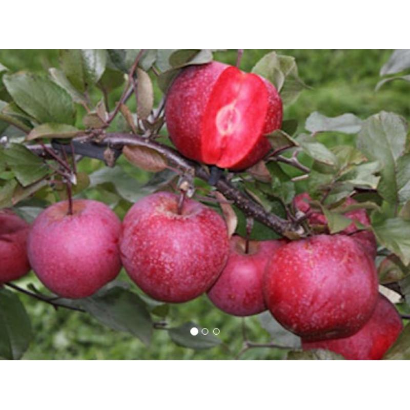 Baya Marisa jabloň červená dužina C10L/150-180cm 3 ročná