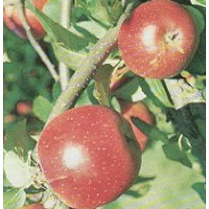 Bohemia jabloň zimná červená podpník M26 prostokorenná