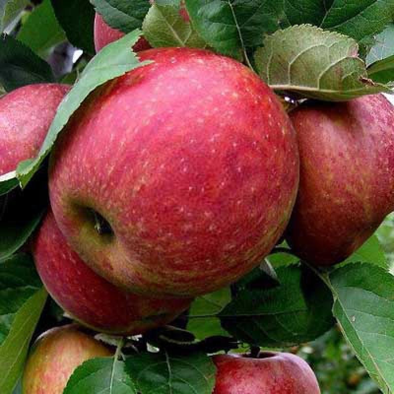 Boscoopske červené jabloň zimná podpník M26 prostokorenná