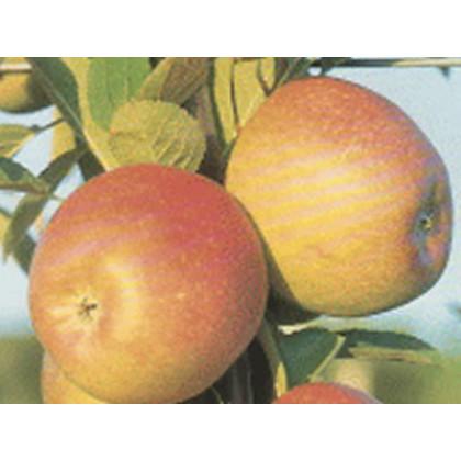Braeburn Fenbra jabloň zimná podpník M9 prostokorenná