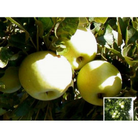 Cactus stĺpová jabloň  jesenná