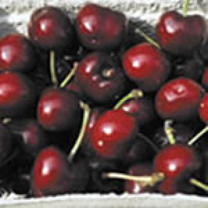 Campanilo čerešňa stĺpovitá veľké plody kontajnerovaná C7,5