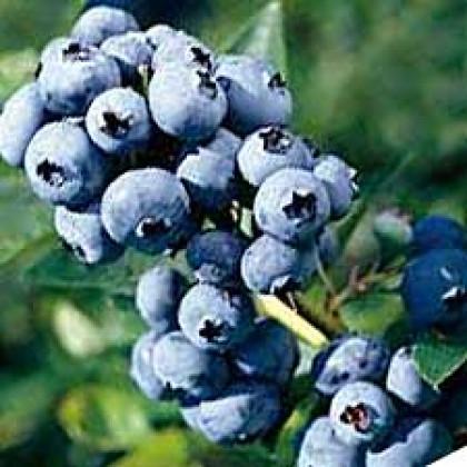 Bluejay čučoriedka stredne skorá veľké plody
