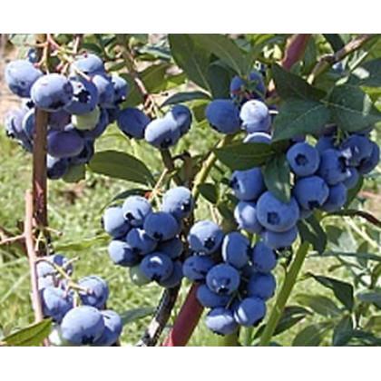 Bluecrop čučoriedka poloskorá stredne veľké plody