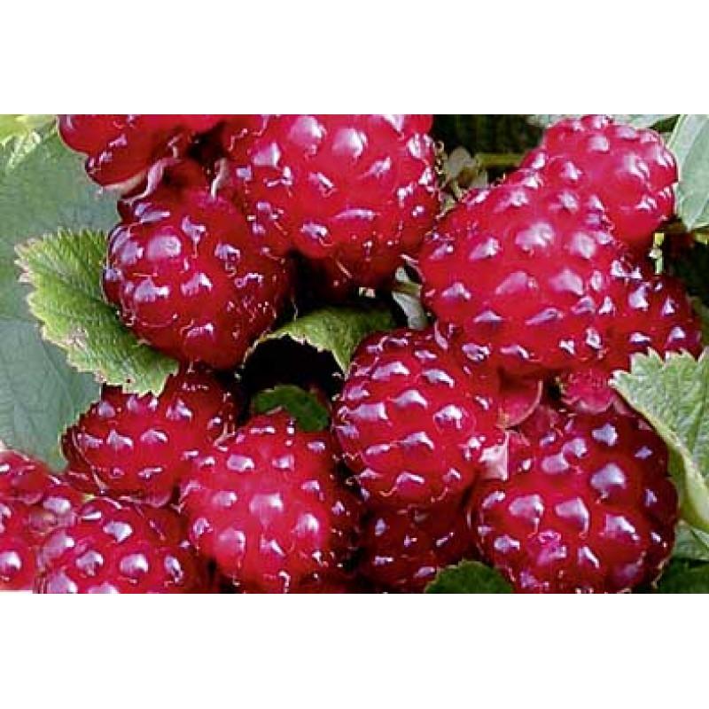 Dorman Red tayberry  malino černica  skorá