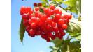 Brusnice ovocný krík