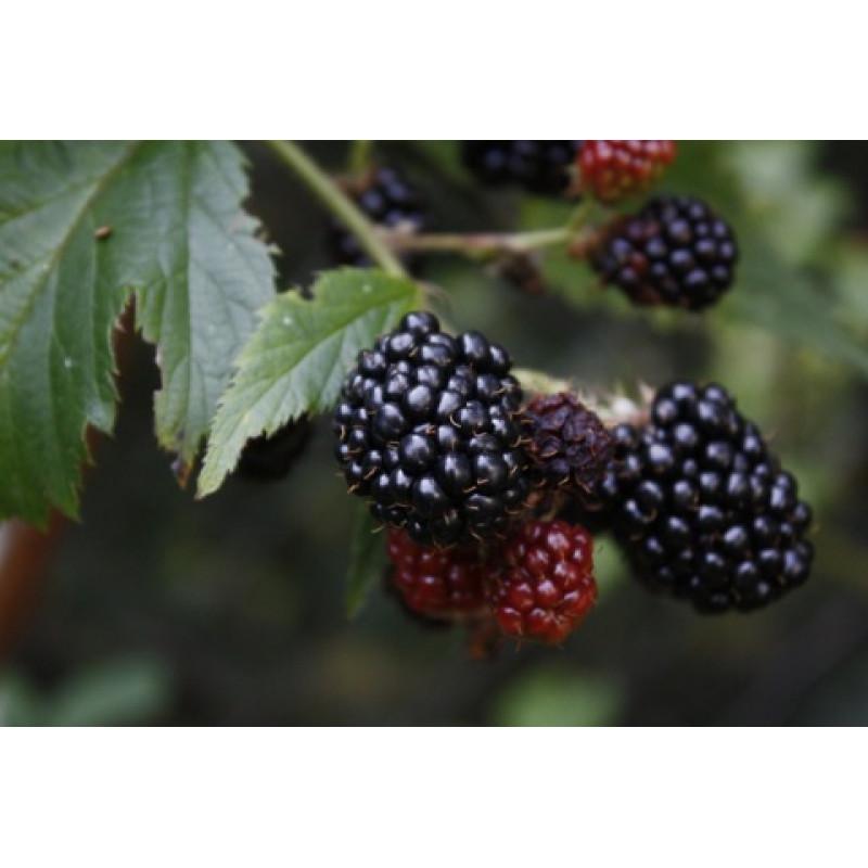 Reuben černica neskorá veľmi veľké plody