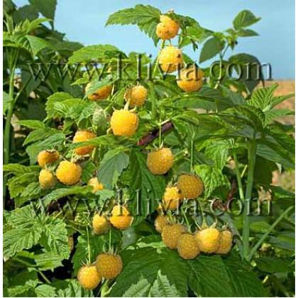 Golden Everest malina žlté plody kontajner C2L