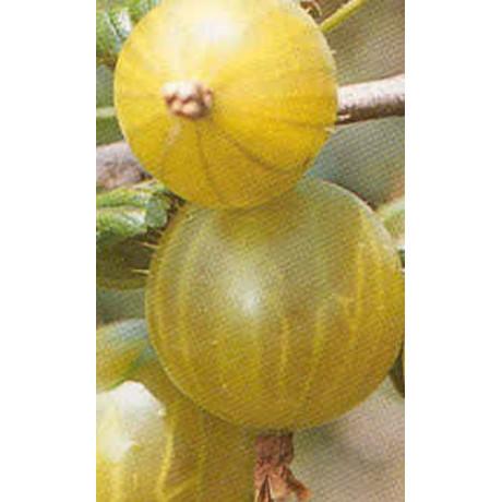 Hinomaki Gelb egreš stredne skorý žltý