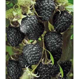 Black Jewel malina čierna kontajner C2L
