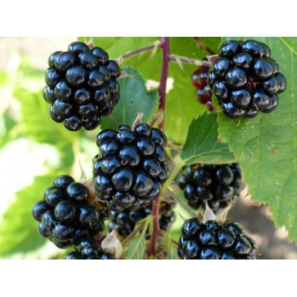 Navaho  černica beztŕna aromatická mrazuodolná