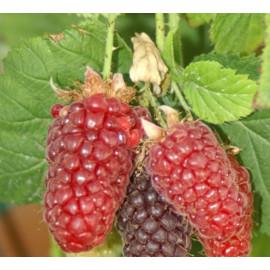 Boysenberry  malina x černica beztŕnna skorá