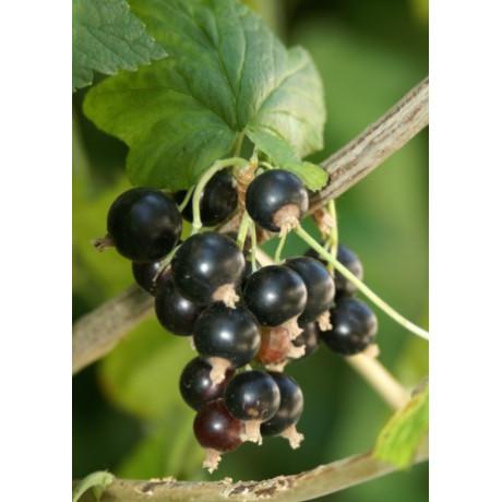 Triton ríbezla čierna rezistentná prostokorenná ker 5-8 výhonov