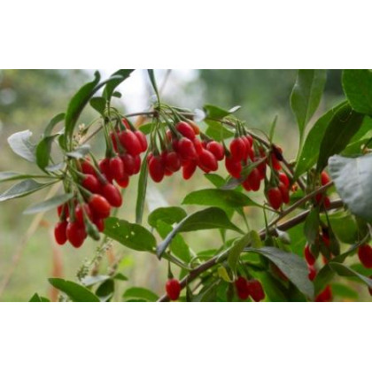 No.1 Lifeberry Goji Lycium Barbarum super ovocie C3L/30-40cm