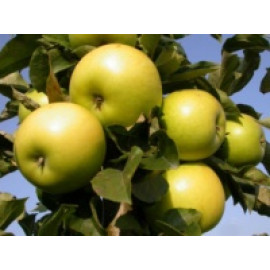 Goldlane  jabloň stĺpovitá  zimná