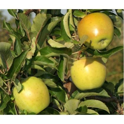 Goldrush jabloň zimná kontajnerovaná M26 prostokorenná