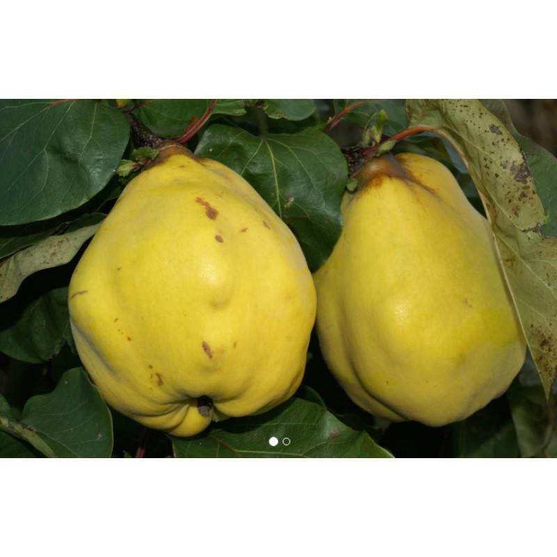 Ronda jablčková dula žltá