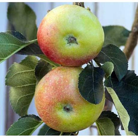 Anda stĺpovitá jabloň zimna rezistentná
