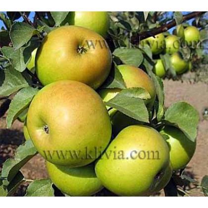 Goldstar jabloň zimná 2 ročná podpník M9 prostokorenná