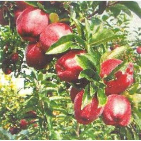 Camspur Red Delicious jabloň zimná M26 kontajner