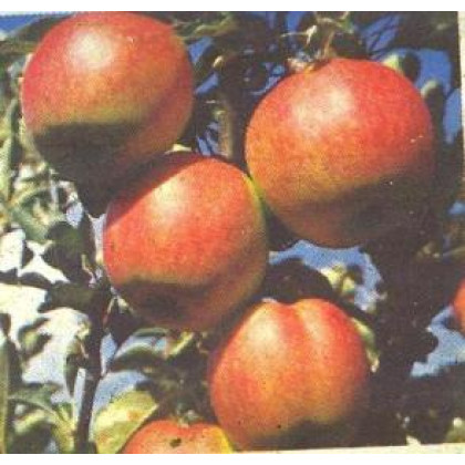 Coxova Reneta jabloň zimná prostokorenná