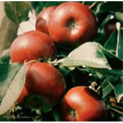 Campanilo Secundo jabloň jesenná kontajnerovaná C5