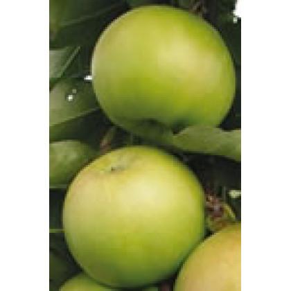 Greencats jabloň stĺpovitá zimná rezistentná C7,5L/100-150cm