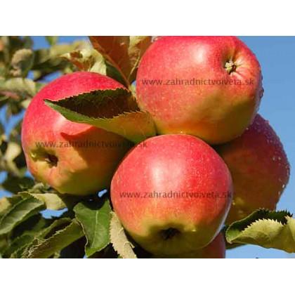 Jonagold Marnica jabloň zimná podpník M26 prostokorenná