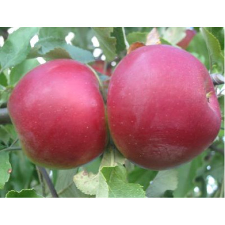 Jonathan zimná jabloň aromatická prostokorenná