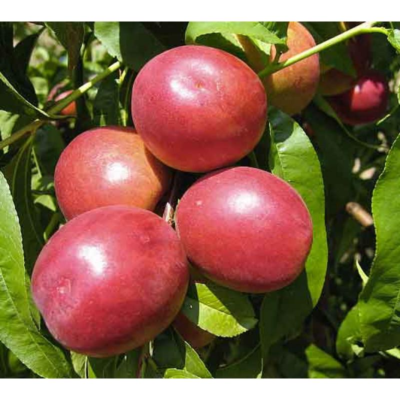 Flavortop nektarinka letná tmavo červená