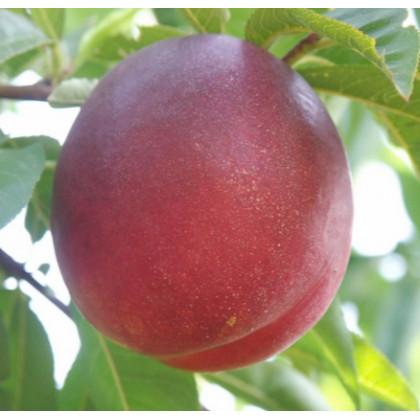 Big Top nektarinka stredne neskorá podpník mandľa prostokorenná