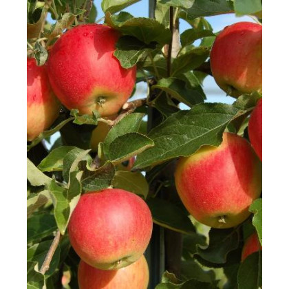 Galmac jabloň letná rezistentná kontajnerovaná