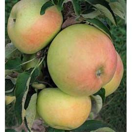 Campanilo Cinque stĺpovitá jabloň zimná kontajnero..