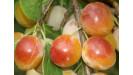 Mirabelky ovocný strom