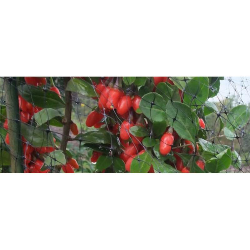 Big Lifeberry goji ovocie C3L/30-40