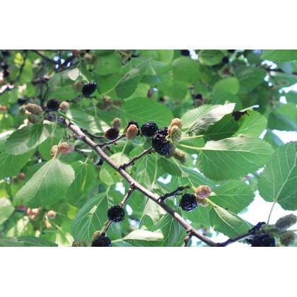 Moruša Trnavská strom štepená