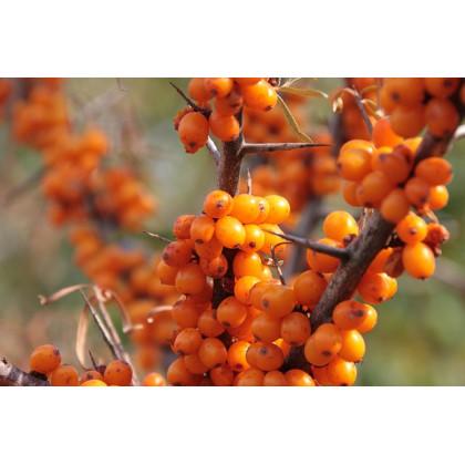 Friesdorfer Orange rakytník  samoopelivý
